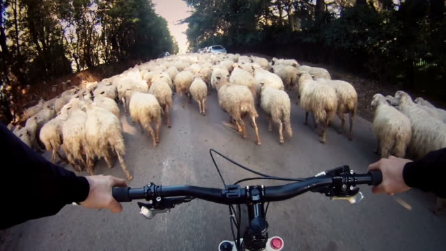 Flock of sheep on the road while riding a bike video