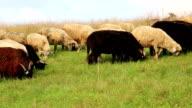 Flock of sheep video