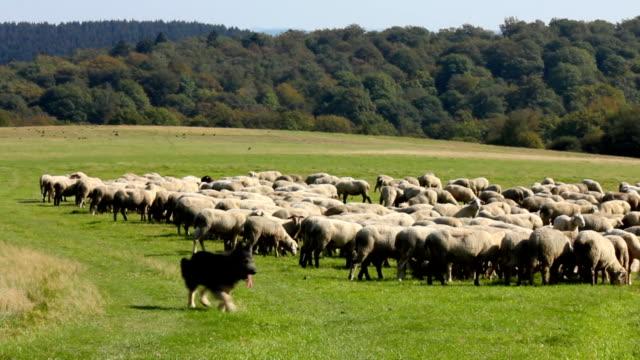 Flock of sheep with running German shepherd video
