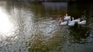 Flock of Swan Duck in a lake video