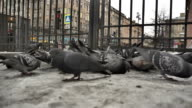 Flock of urban pigeons video