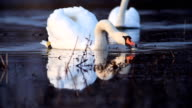 Flock of white swans. video