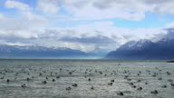 Flock of wild ducks floating on waves of lake, stormy weather in Alps, slow-mo video