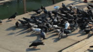 flocks of pigeons video