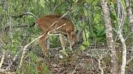 Florida Key Deer video