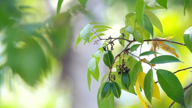flower and young fruits of star fruits video