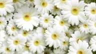 Flower background.Daisy video