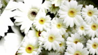 Flower background.Daisy (with slide effect) video