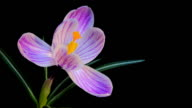 Flower Blooming Timelapse video