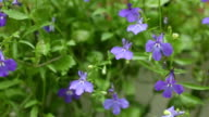 Flower Blue Lobelia video