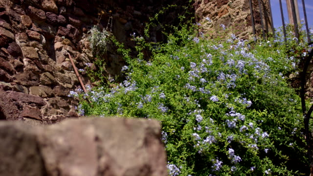 Flower Blue shutters growing near the stone wall. Nice. France video