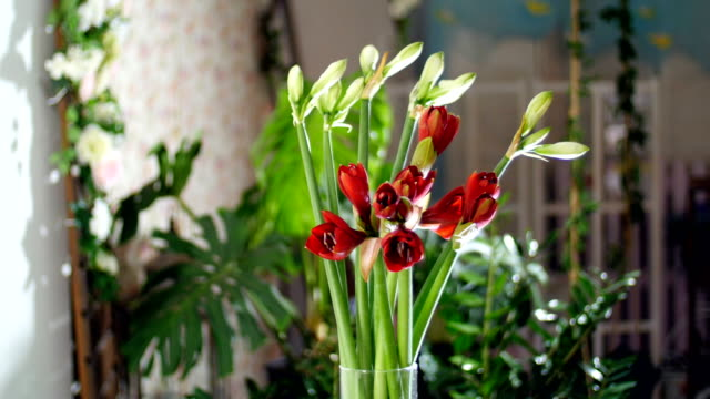 Flower bouquet in the rays of light, rotation, consists of Amaryllis white, Amaryllis ferrari. in the background a lot of greenery video