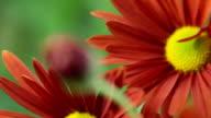 Flower Bud. Rack Focus video
