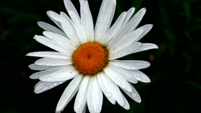 Flower daisy with raindrops. video