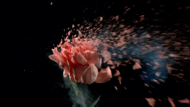 Flower explodes in slow motion. video