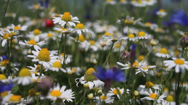 Flower Field With Chamomiles And Cornflowers video