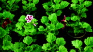 Flower greenhouse . Growing ornamental and flowers for landscape design and gifts video