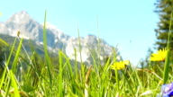 Flower meadow with picturesque view of alps. video
