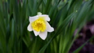 Flower narcissus in green grass video