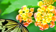 Flower Nectar Siphoned from Flower by Swallowtail Butterfly video