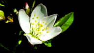 Flower of a cherry tree opens on a black background video