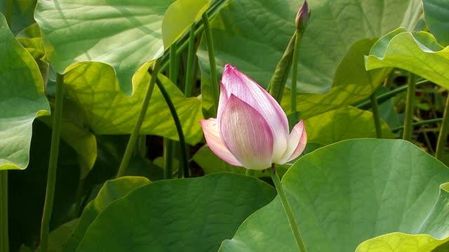 Flower of a Lotus in Showa Kinen Park,Japan video