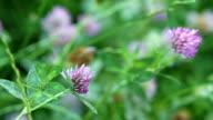 Flower of clover video