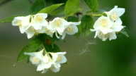 Flower of Jasmine video