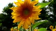 flower of sunflower close up video