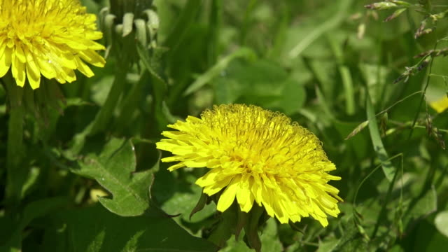 Flower of Tussilago farfara in spring in green grass video