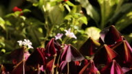 Flower Oxalis triangularis (Purple shamrock ) video