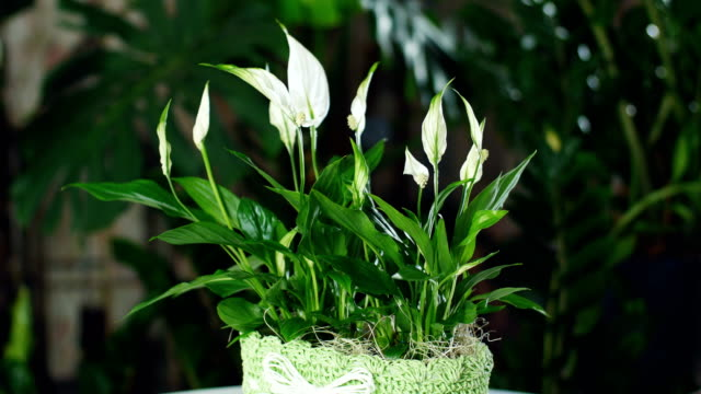 Flower Spathiphyllum in the rays of light, rotation video