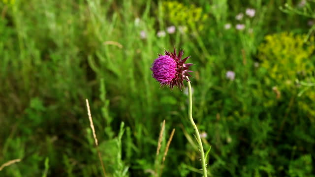 Flower thistles in a field video