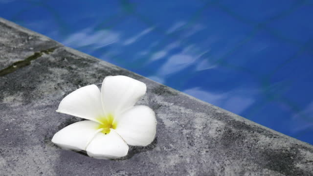 flower white Plumeria franzhipan floats in pool water in the tropical resort video