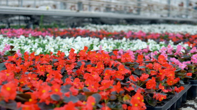 Flowerbed with various beautiful flowers of different colours in a greenhouse. 4K. video
