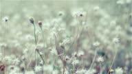 Flowergrass in evening light,Vintage video