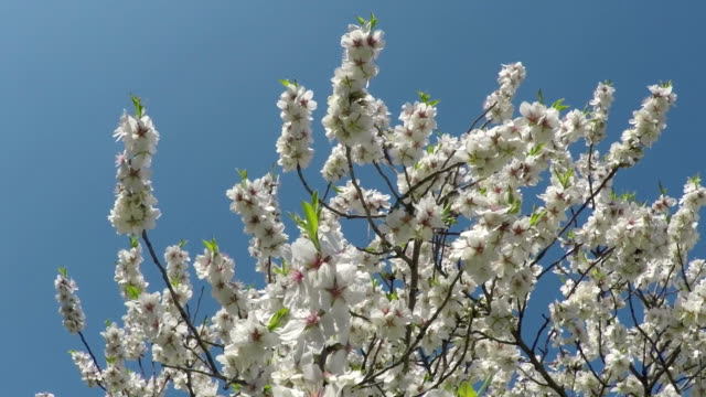 Flowering almond branches against the blue sky video