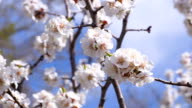 A flowering apricot tree. Insects pollinate the flowers. Footage clip 4K, UHD, Ultra HD video