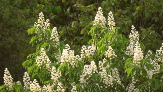 Flowering branches of chestnut. Castanea sativa video