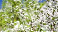 Flowering cherries in the garden. video