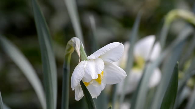 Flowering daffodils in spring, cloudy weather. video