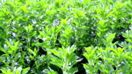 Flowering field beans. video