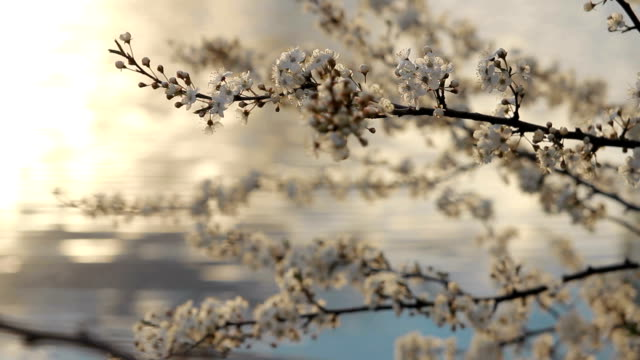 Flowering fruit tree on a background of the lake at sunset. Close-up video