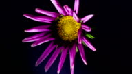 Flowering lilac gazania on a black background video