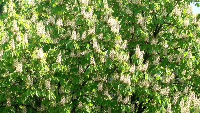Flowering of Chestnuts video