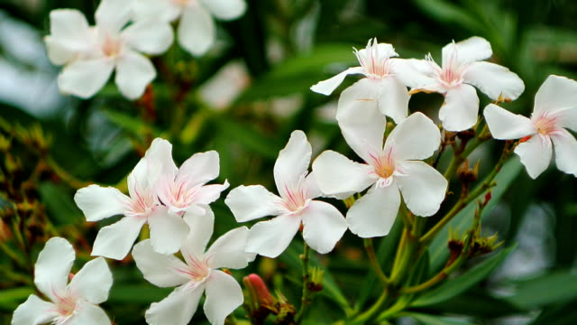 Flowering oleander trees in Montenegro, the Adriatic Sea and the video