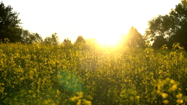 Flowering rapeseed field. Slow motion video