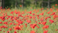Flowering red poppies swaying on the wind against pine trees video