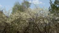 Flowering shrubs white fluffy flowers video
