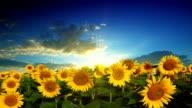 flowering sunflowers video